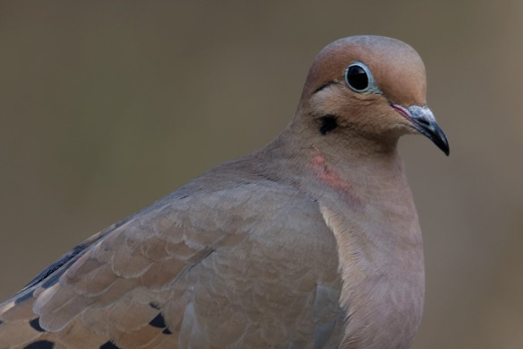 mourning-dove-1980911_1920